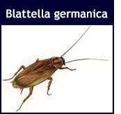 Blattella germanica