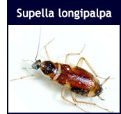 Supella longipalpa